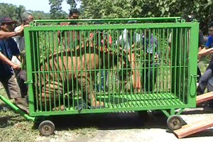 Harimau Bengala Asal Kbr Tiba Medan 2 Kebun Binatang Kota