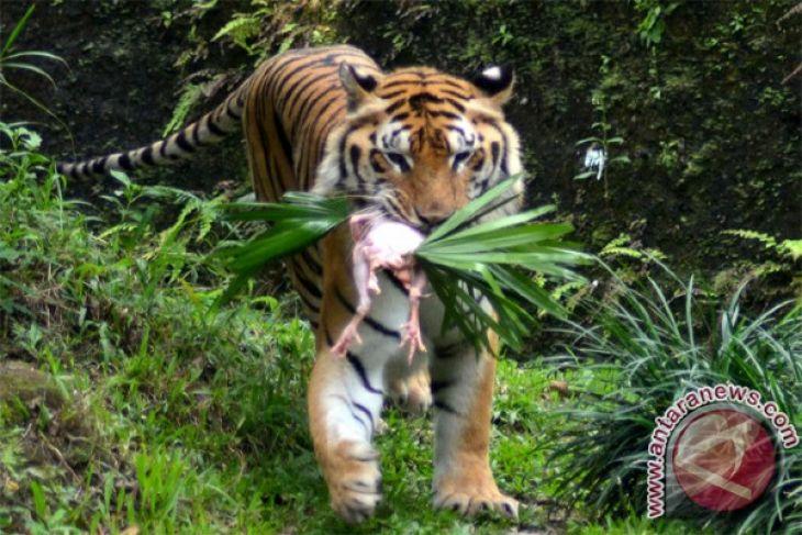 Harimau Benggala Lahir Kebun Binatang Medan Antara News Kota