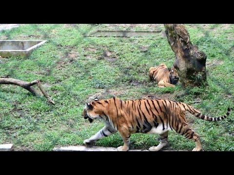 Harimau Sumatera Kebun Binatang Medan Zoo Tiger Kota