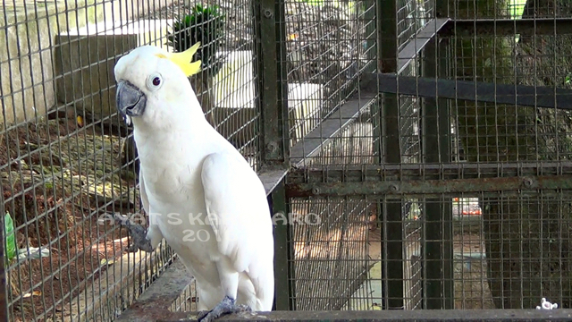 Tak Berizin Satwa Taman Binatang Mini Inipun Disita Kakatua Jambul