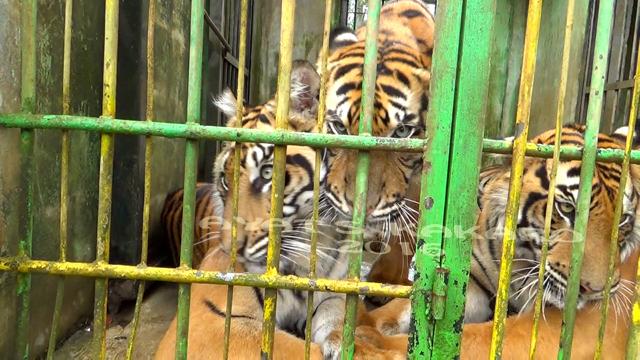 Tak Satupun Kebun Binatang Indonesia Punya Hutan Rehabilitasi Nasib Harimau