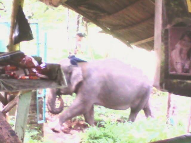 Wisatamedanbung Wisata Kebun Binatang Simalingkar Medan Gajah Berjalan Bebas Belakang