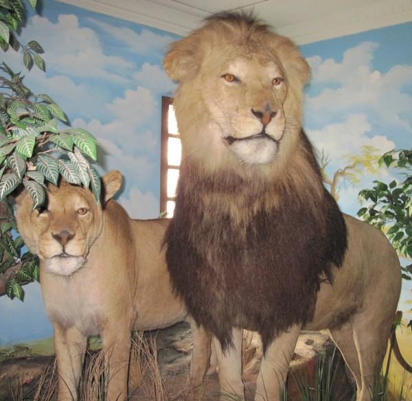 Rahmat Gallery Koleksi Satwa Liar Satu Satunya Asia Singa Museum