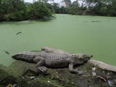 Penangkaran Buaya Asam Kumbang Medan Sumatera Utara Onopiro Weblog Samsung