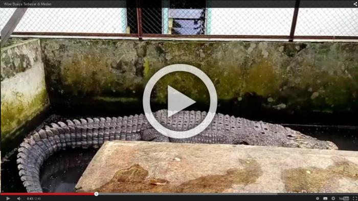 Video Buaya Tertua Kota Medan Berusia Setengah Abad Tribun Penangkaran