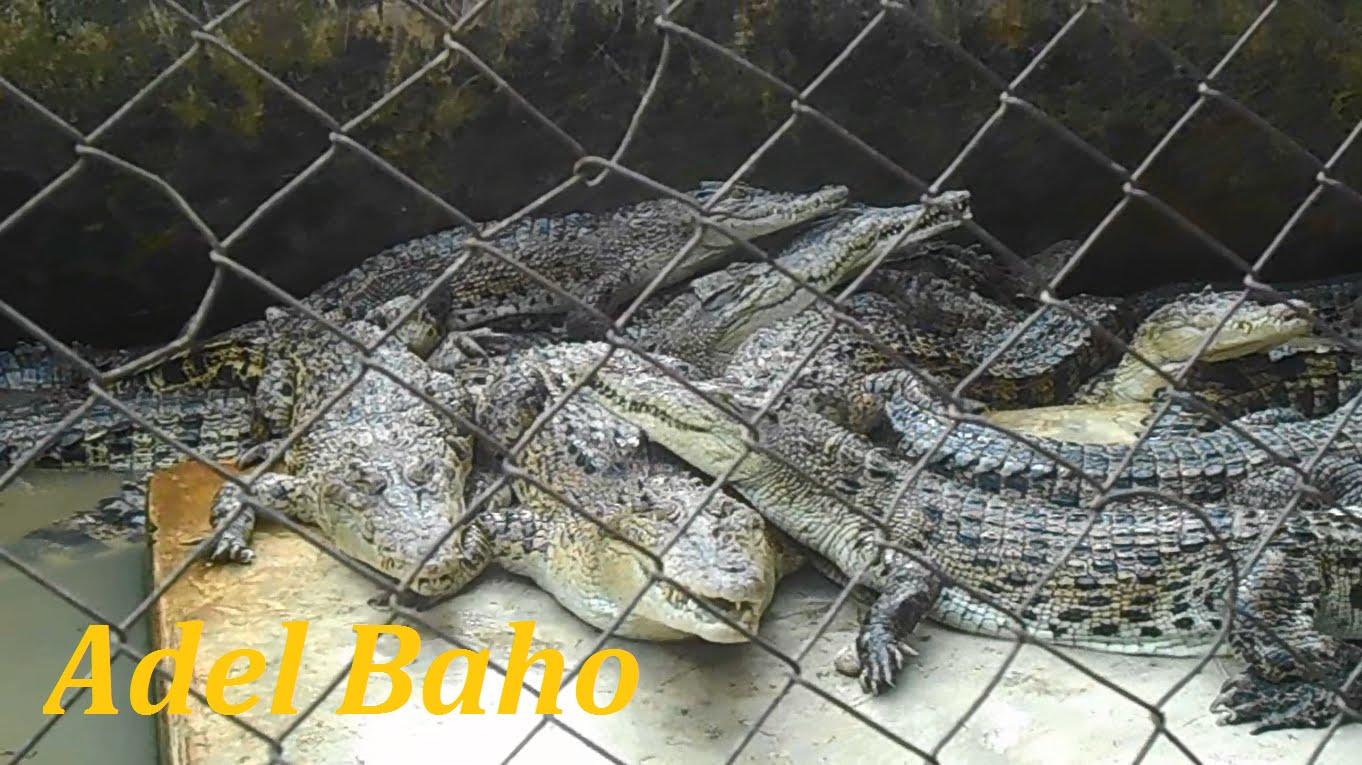 Wisata Alam Penangkaran Buaya Asam Kumbang Sunggal Crocodile Park Tourism