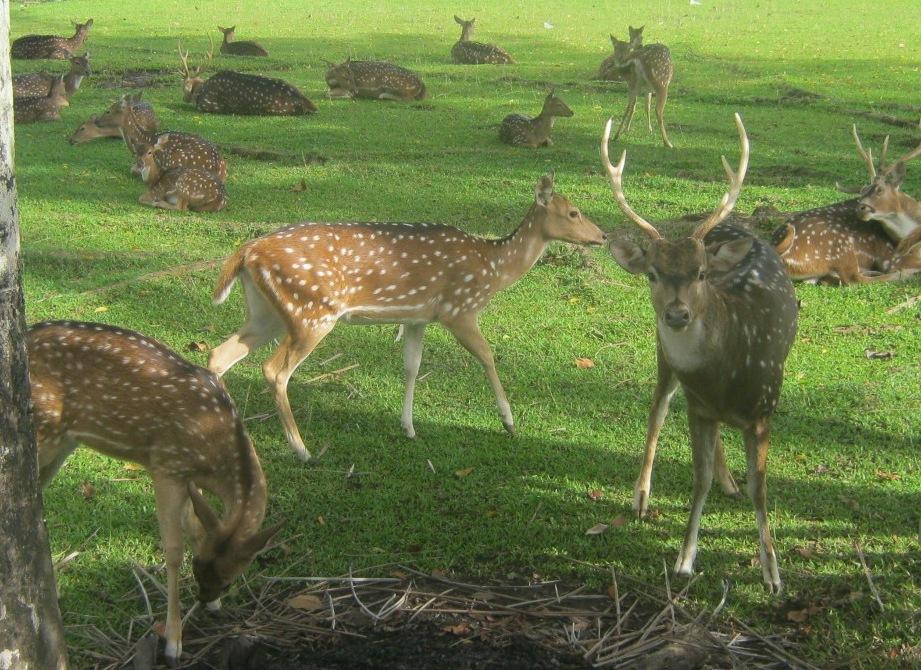 Wildlife Conservation Veterinarian Chemical Physical Restraint Penangkaran Rusa Tutul Rumah