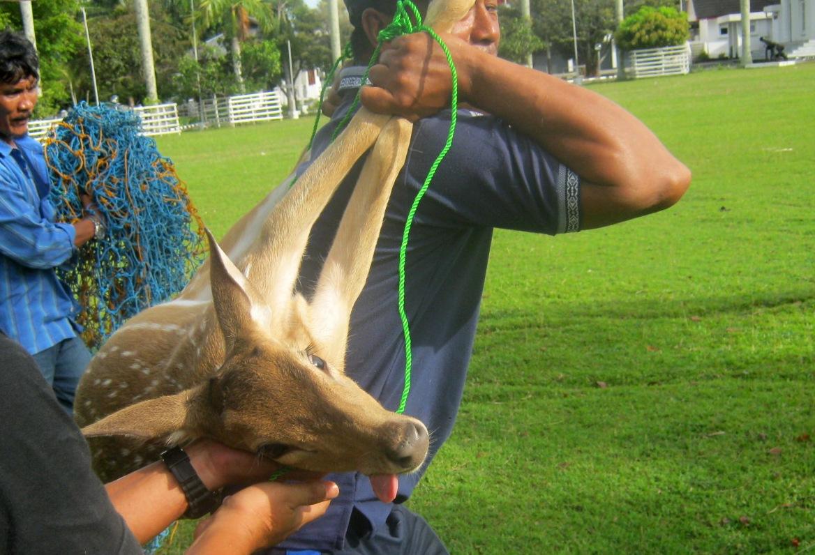 Wildlife Conservation Veterinarian Chemical Physical Restraint Penangkaran Rusa Universitas Sumatera