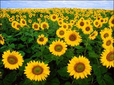 10 Gambar Kebun Bunga Matahari Indonesia Bantul Jogja Kediri Batu