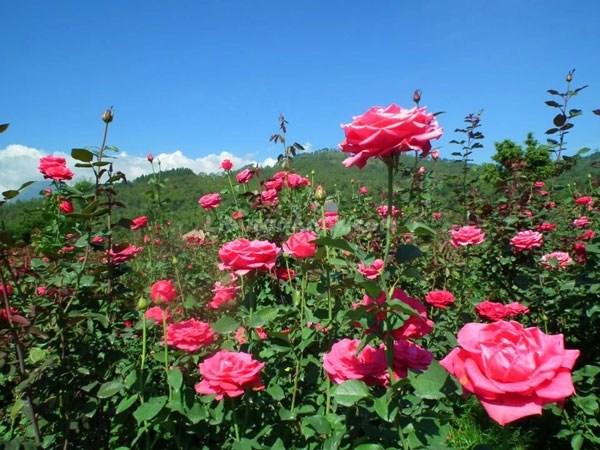 8 Taman Bunga Indonesia Tak Kalah Cantik Eropa Kebun Mawar