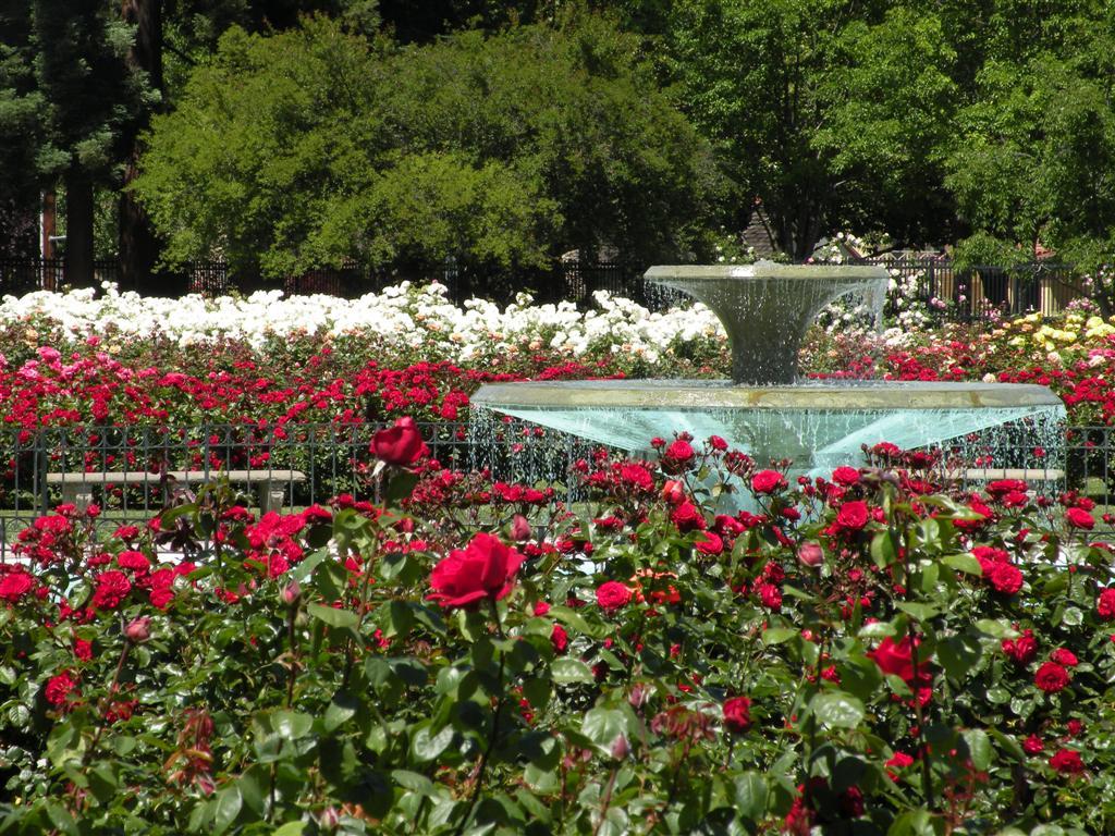 Indahnya Aneka Bunga Mawar San Jose Municipal Rose Garden Pengunjung
