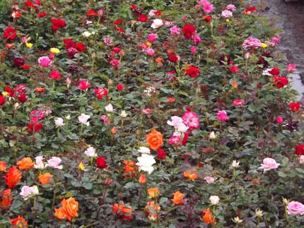 Kebun Bunga Mawar Bandung Lembang Grosir Tanaman Hias Taman Kota