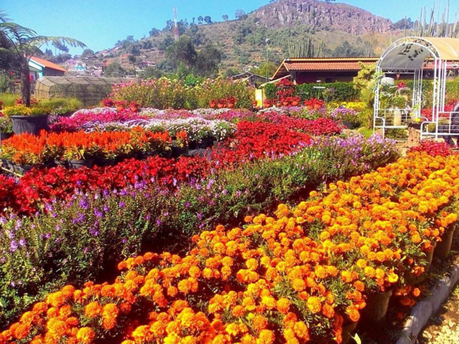 Lokasi Jam Buka Tiket Masuk Rute Kebun Bunga Begonia Lembang