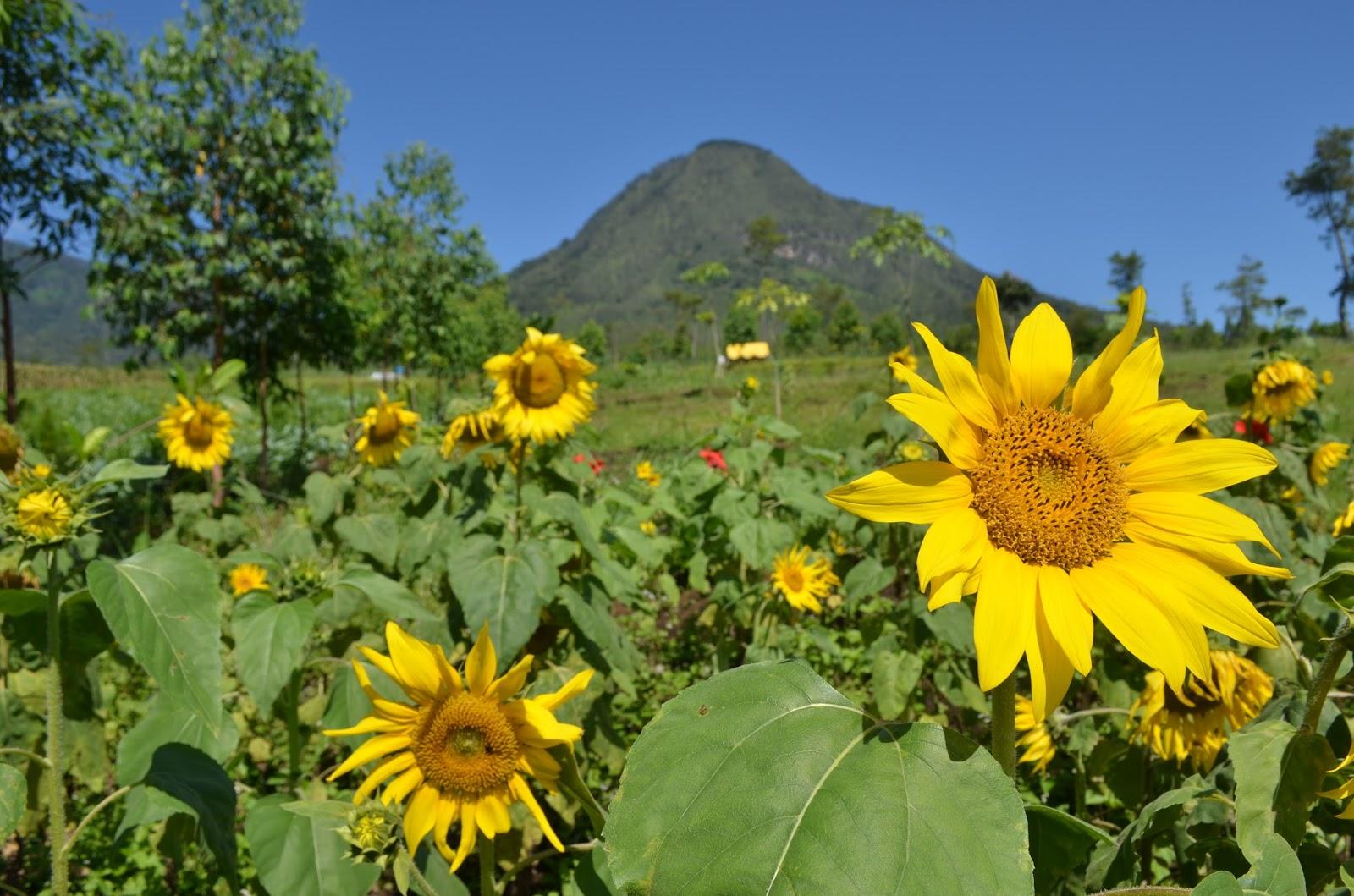 Mbulan Kebun Bunga Matahari Peternakan Kuda Megastar Indonesia Taman Kota