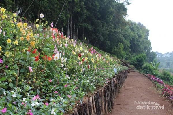 Purbalingga Punya Kebun Bunga Secantik Mekar Warna Warni Memenuhi Taman