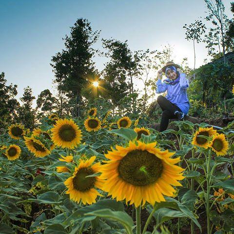 Rute Menuju Kebun Bunga Matahari Watu Goyang Dlingo Bantul Taman