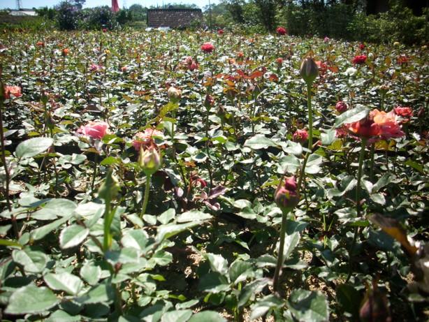 Supplier Bibit Mawar Jual Bunga Eceran Grosir Taman Kebun Kota