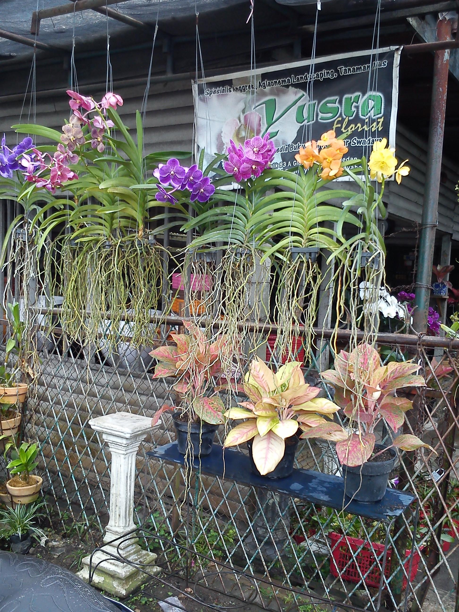 Surga Anggrek Kota Medan Official Chitra Depan Disuguhkan Penampakan Dendrobium