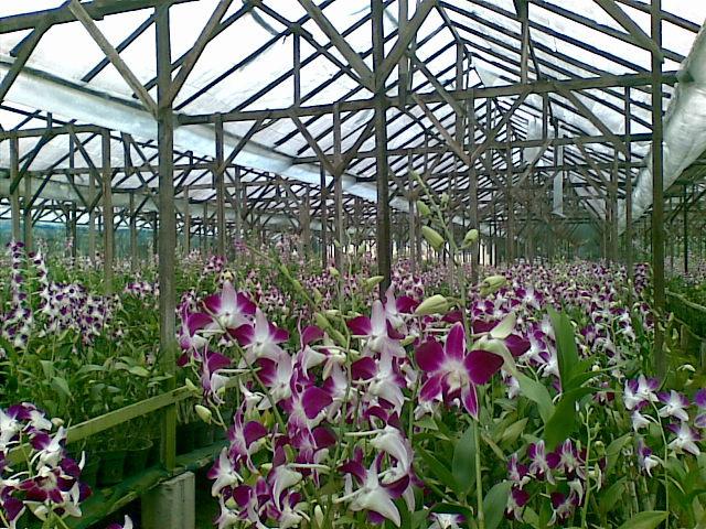 Taman Anggrek Tiga Dolok Bakti Situmorang Anggrek9 Kebun Bunga Kota