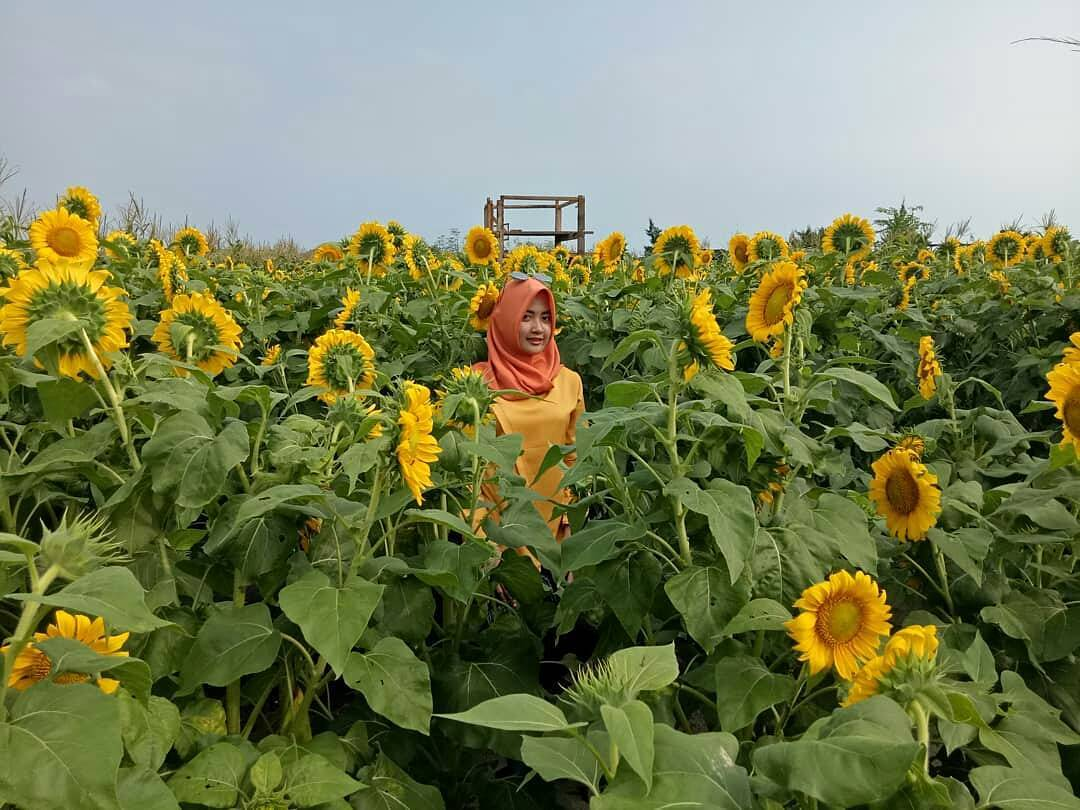 Tiket Masuk Kebun Bunga Matahari Pantai Glagah Kulon Progo Lokasi