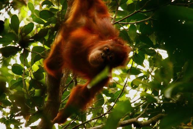 Bagaimana Orangutan Berkomunikasi Outrop Indonesia Betina Isabella Sabangau Foto Oleh