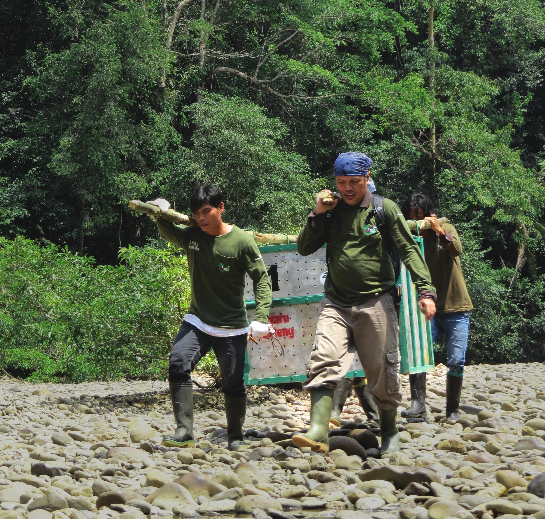 Bosf Borneo Orangutan Survival Foundation Bornean Rescue Rehabilitation Reintroduction Long