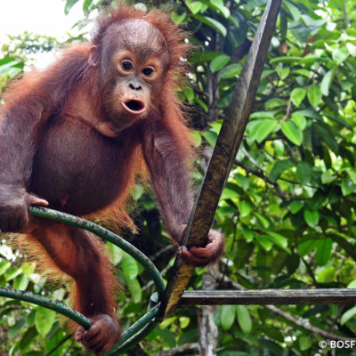 Bosf Borneo Orangutan Survival Foundation Latest News Penangkaran Utan Nyaru
