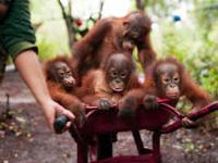Bosf Borneo Orangutan Survival Foundation Nyaru Menteng Penangkaran Utan Kota