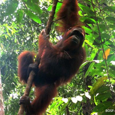 Bosf Borneo Orangutan Survival Foundation Observing Totti Penangkaran Utan Nyaru