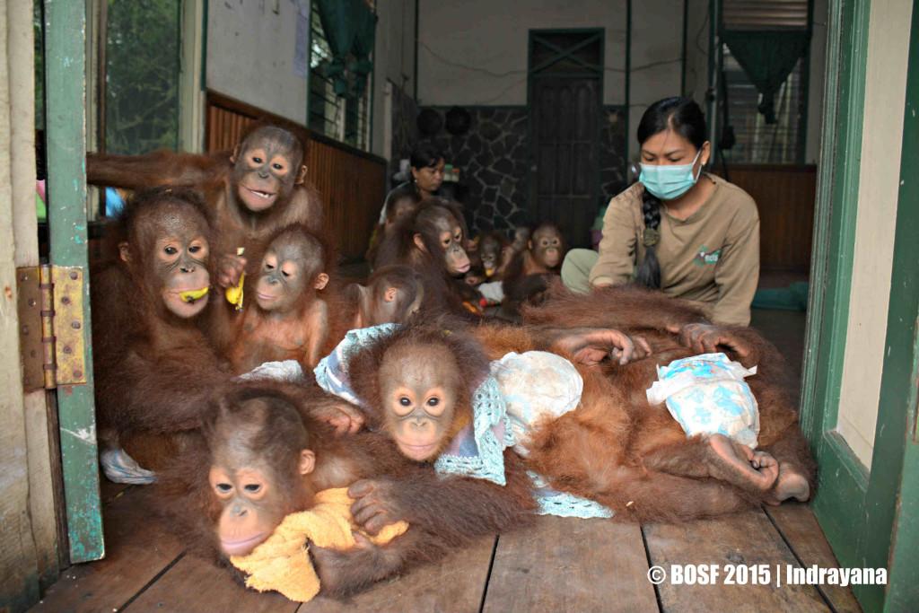 Catatan Perjalanan Kabar Palangkaraya Bayi Orangutan Nyaru Menteng Tinggal Ruangan