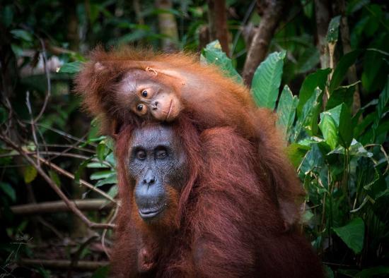 Central Borneo Guide Palangkaraya Indonesia Review Penangkaran Utan Nyaru Menteng