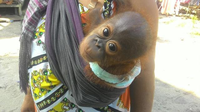 Cerita Haru Ibu Pengasuh Bayi Orangutan Kalimantan 20161127 Penangkaran Utan