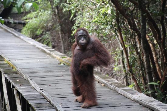 Daerah Wisata Indonesia Objek Kalimantan Tengan Utan Penangkaran Nyaru Menteng
