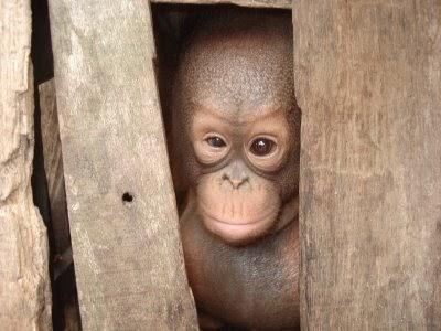 Hutan Kalimantan Terancam Punah Mandau Talawang Penangkaran Utan Nyaru Menteng