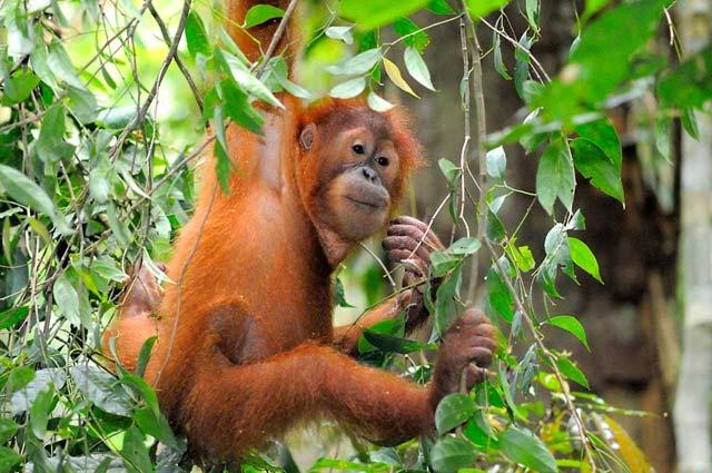 Ibukota Indonesia Pindah Palangkaraya Bisa Kamu Berkunjung Rumah Utan Taman