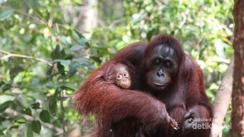 Ibukota Pindah Palangkaraya Wisata Orangutan Tanjung Puting Debora Kusumadewi Dtraveler