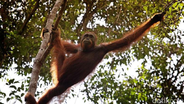 Main Palangkaraya Makin Cinta Orangutan Nyaru Menteng Foto Ilustrasi Utan