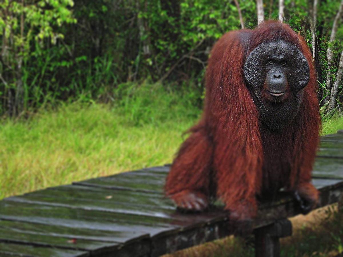 Melirik Wisata Utan Khas Kalimantan Smocko Paket Tanjung Puting Orangutan