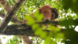 Menengok Rumah Orangutan Kalimantan Bikin Geram Pria Lempar Rokok Penangkaran