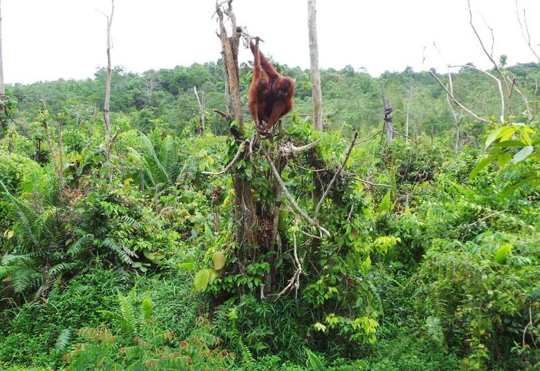 Menengok Rumah Orangutan Kalimantan Bosf Timur Shafa Detiktravel Penangkaran Utan