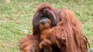Menengok Rumah Orangutan Kalimantan Merokok Kebun Binatang Bandung Kembali Jadi