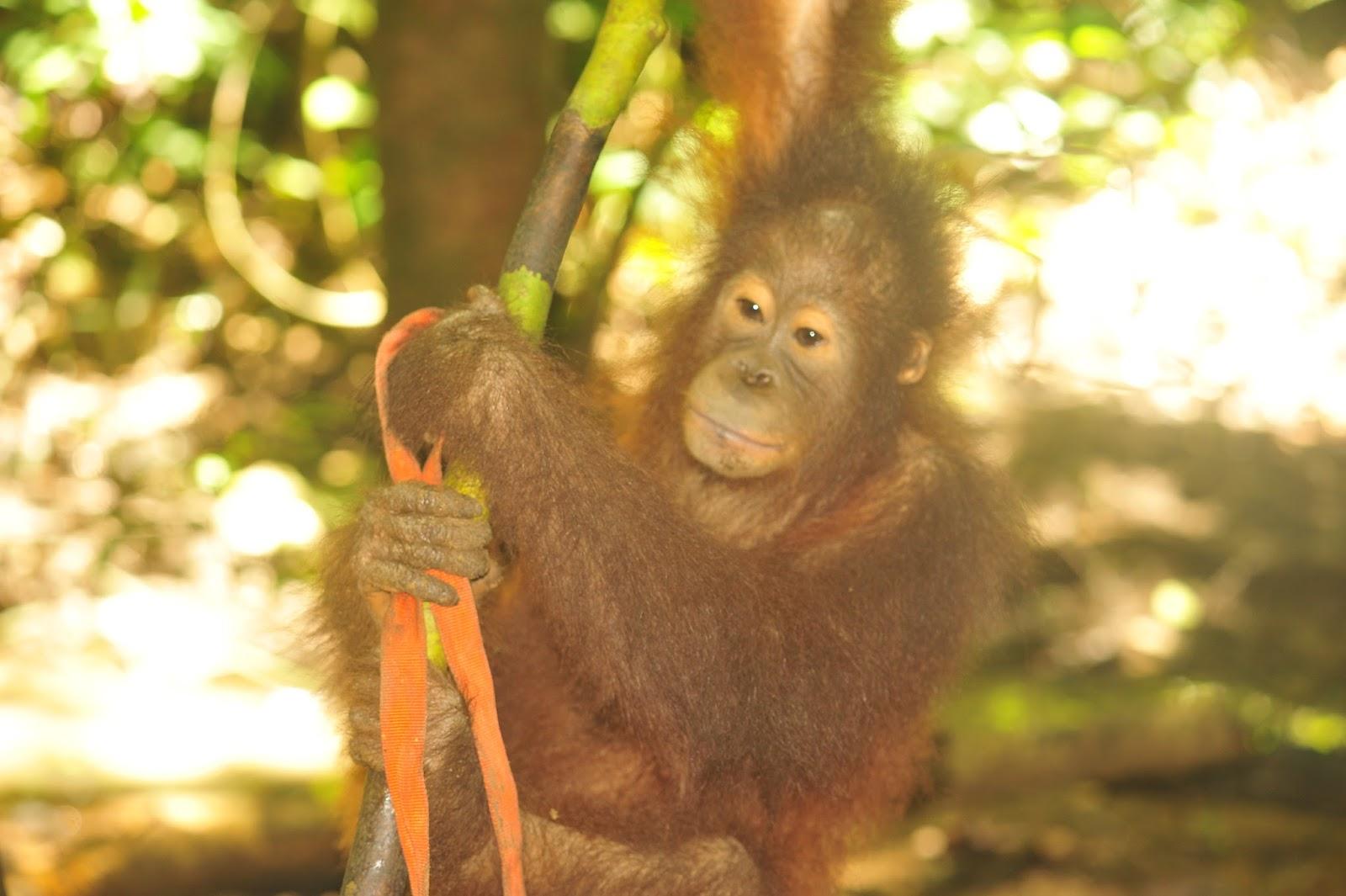 Menjadi Relawan Orangutan Kalimantan Bagian 1 Green Backpacker Acara Selesai