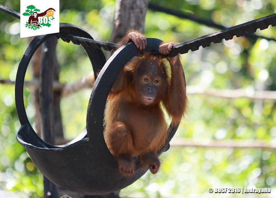 Naik Status Perlindungan Orangutan Kalimantan Habitatnya Kejora Belajar Keterampilan Hidup