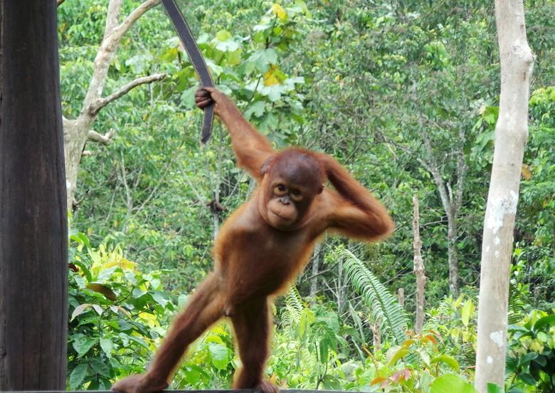 Narsis Ical Orangutan Senang Difoto Inilah Eksis Shafa Detiktravel Penangkaran