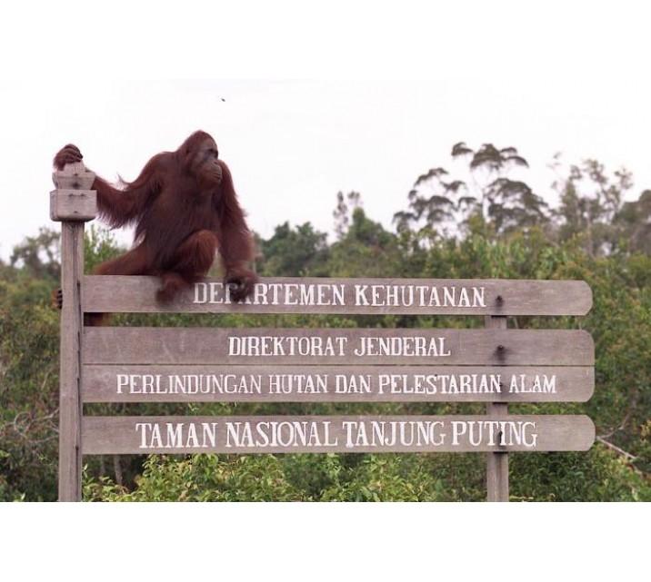 Nasional Tanjung Puting Tempat Melepaskan Utan Alam Liar Taman Penangkaran