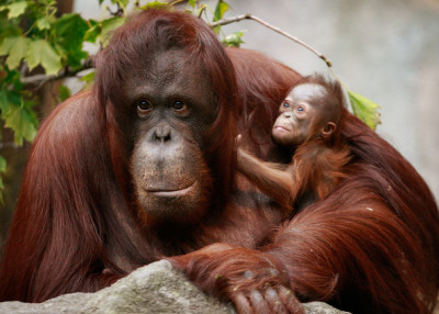 Orangutan Wajib Sekolah Pusat Rehabilitasi Alamendah Blog Bayinya Penangkaran Utan
