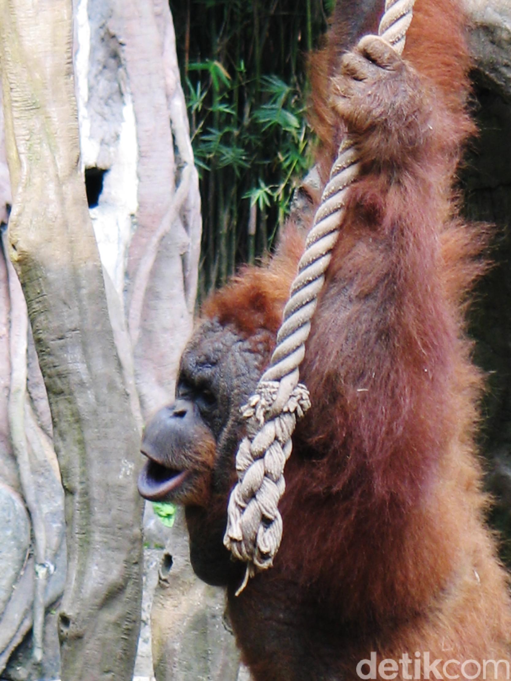 Palangkaraya Makin Cinta Orangutan Nyaru Menteng Main Penangkaran Utan Kota
