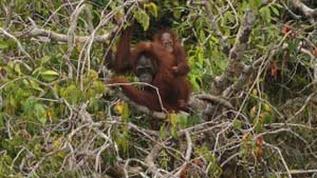 Rumah Utan Kalteng Regional Liputan6 Seekor Induk Orangutan Bersama Anaknya