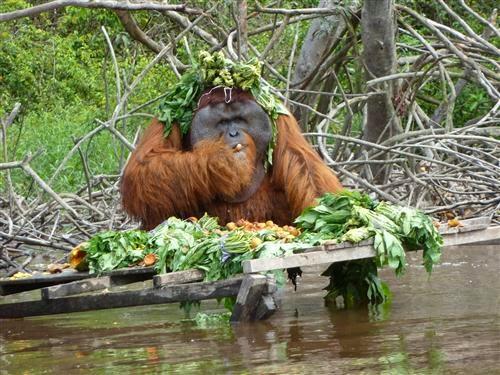 Sejarah Ayun Itah Petak Danum Enangkaran Orangutan Nyaru Menteng Milik