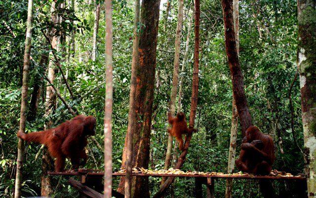 Taman Nasional Tanjung Puting Tempat Melepaskan Utan Alam Liar Penangkaran
